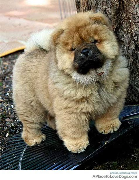pug and chow mix chow terrier mix puppy pictures breeds picture