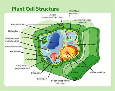 diagram of typical plant cell plant cell structure diagram pictures photos images