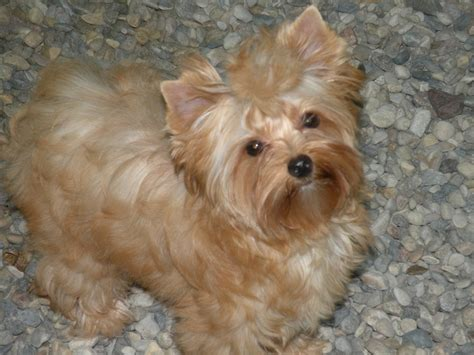 gold yorkie puppies golden yorkie breeds picture