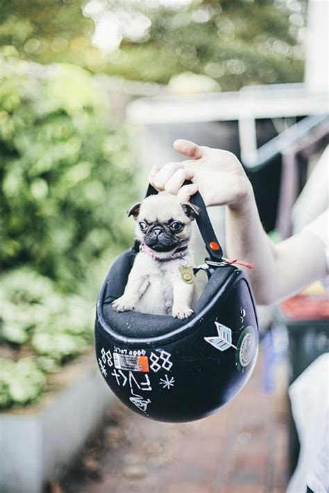 pug costume for baby 17 best images about and animals on cats smosh and hamsters