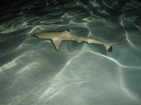 baby shark ukulele baby shark ukulele 歌谱 久久乐谱