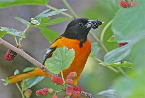 baltimore oriole birds of quail valley and fort bend