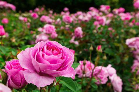 rose bed autumn gardening how to prepare a rose bed australian