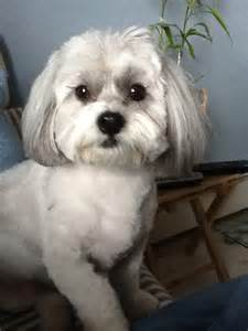shih poo haircuts haircut pictures of shih poos newhairstylesformen2014 com