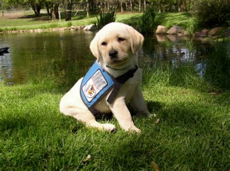 epilepsy service dogs 17 best images about service dogs on service dogs search and rescue dogs