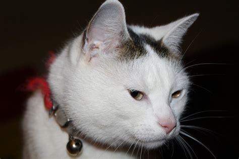 gatto castrato cosa deve mangiare cose di gatti