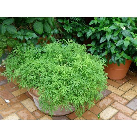 proven winners citronella live plant herb 4 25 in