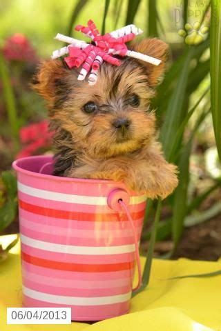 yorkie puppies for sale in scranton pa best 25 terrier for sale ideas only on teacup terrier