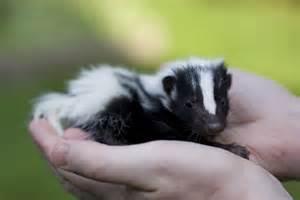 pet skunk by bazutti animal friends pinterest