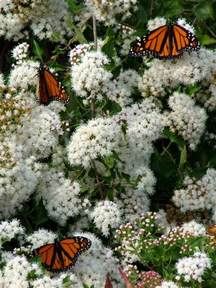 plants for butterfly gardens plant society