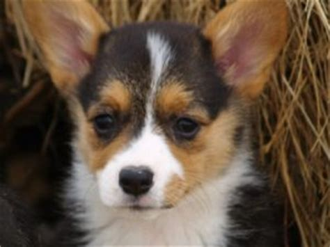 corgi puppies raleigh nc pembroke corgi puppies in