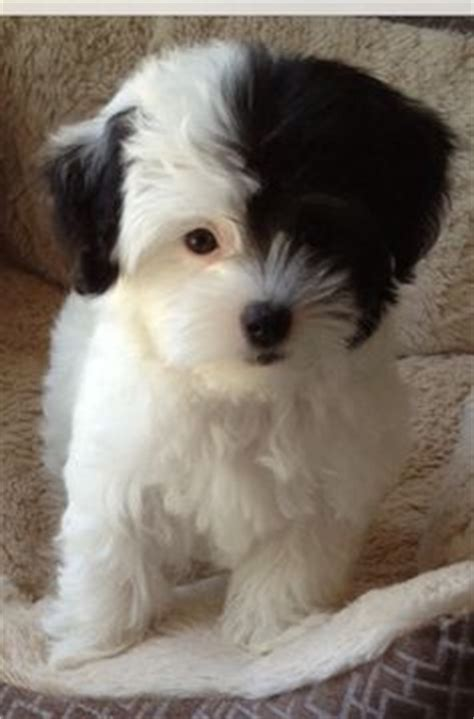 lisi havanese 1000 images about havanese on havanese puppies havanese dogs and