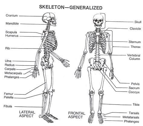 human skeletal system diagram human skeleton diagram labeled skeletal system diagram