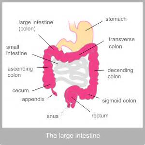 the large intestine western physiological description of