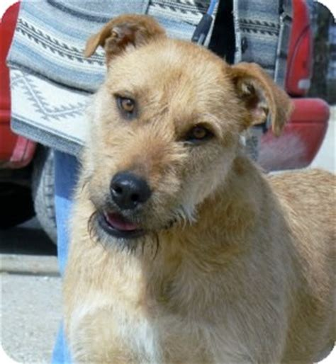 airedale golden retriever mix st mo airedale terrier golden retriever mix meet molly a for adoption