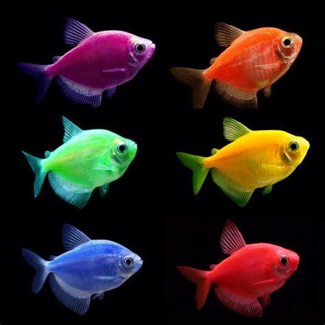 glofish colors glofish tetra in various colors featured item glofish