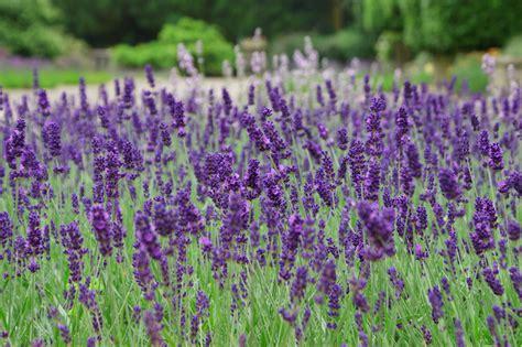 Lavender Flowers lavender flower wallpaper flower dreams