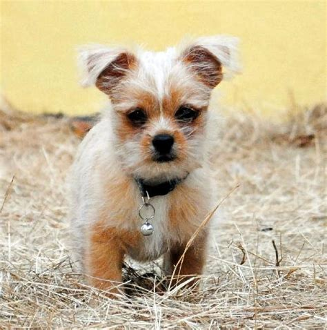 shi chi puppies pictures of dogs www imgkid the image kid has it