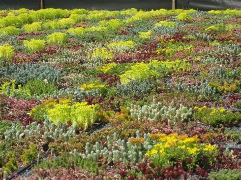 rooftop plants rooftop sedum garden garden ideas pinterest gardens and rooftops