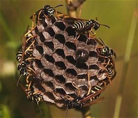 wespen im haus was tun 6753 darf hornissen bek 228 mpfen oder umsiedeln infos dazu hier