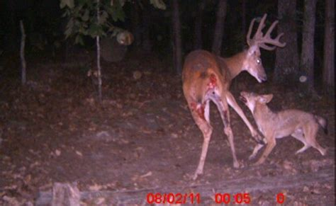 caught on camera – coyotes kill a white tailed buck