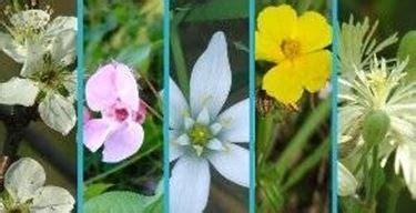 fiori di bach controindicazioni fiori di bach rescue fitoterapia la variet 224 rescue dei