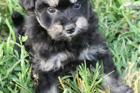 pomapoo puppies for sale near me poma poo pomapoo puppy for sale near grand forks dakota c84f9995 a181