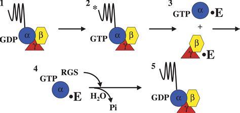 g protein q heterotrimeric g protein