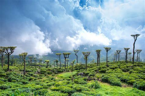 Ceylon Srilanka ceylon tea vivitravels
