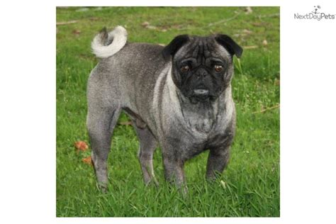 pugs for sale in fresno pug puppies available puppies for sale dogs for sale puppies breeds picture