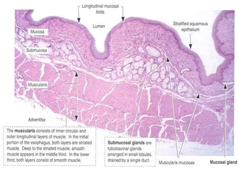 Cross Section Of Esophagus by Esophagus Cross Section Related Keywords Suggestions