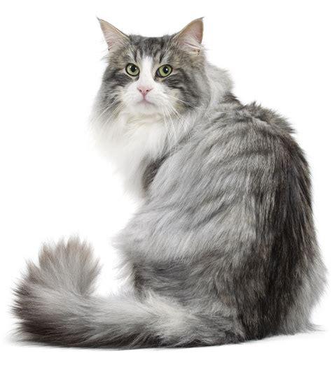 Norwegian Forest Cats   FallinPets