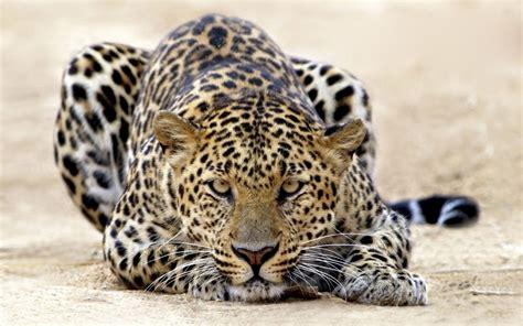 big cat wallpaper cat big cat leopard desktop wallpaper