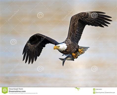 flying with large american bald eagle with fish stock image image 59624935