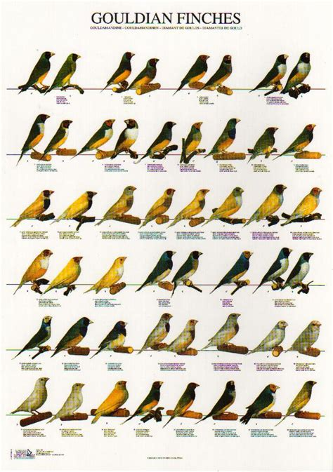gouldian finches finches and their mutations pinterest