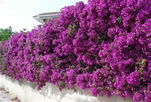Evergreen Climbing Plants For Trellis Plants Amp Flowers 187 Bougainvillea Glabra