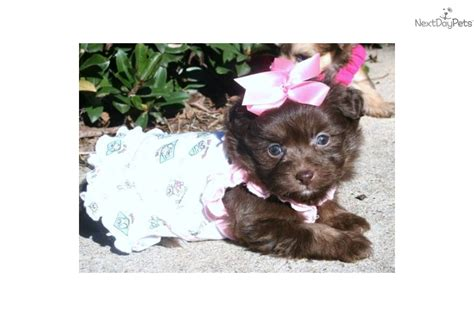 teacup pomapoo puppies for sale meet a pomeranian puppy for sale for 500 chocolate pomapoo blue
