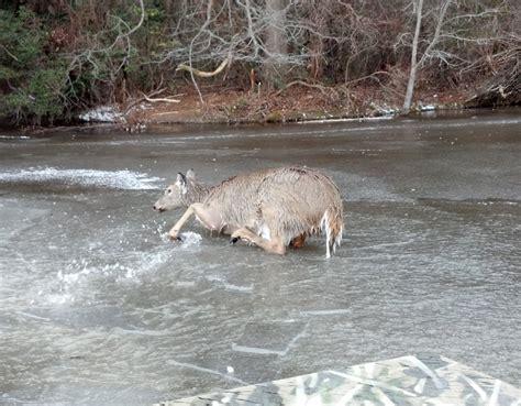 rescues deer dnrec fish wildlife enforcement officers rescue deer that had fallen through