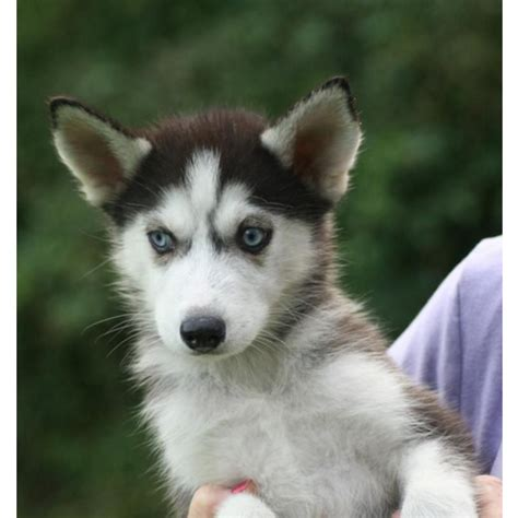 pomeranian husky puppies for sale uk siberian husky puppies for sale in uk dogs and puppies design bild