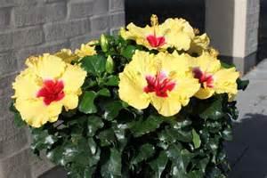 Patio Hibiscus by Hibiscus Sinensis Boreas Yellow