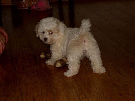 bichon frise puppies for sale craigslist pitbull mix puppies for sale in pa breeds picture