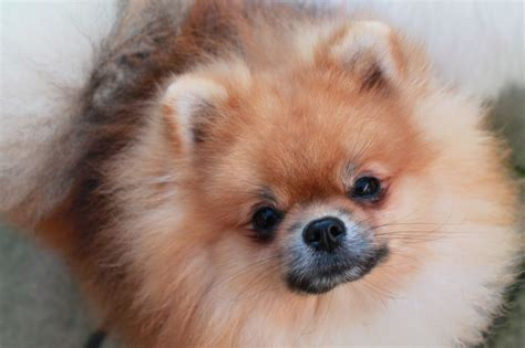 pomeranian boo breed pomeranian boo cambridge cambridgeshire pets4homes