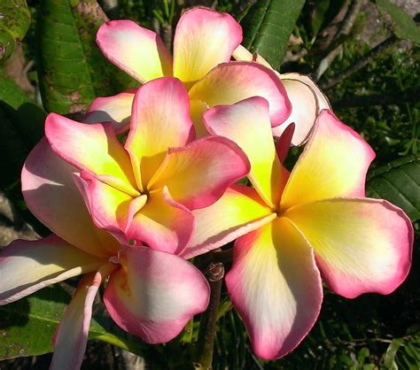 plumeria photos photo of the bloom of plumeria plumeria rubra naples