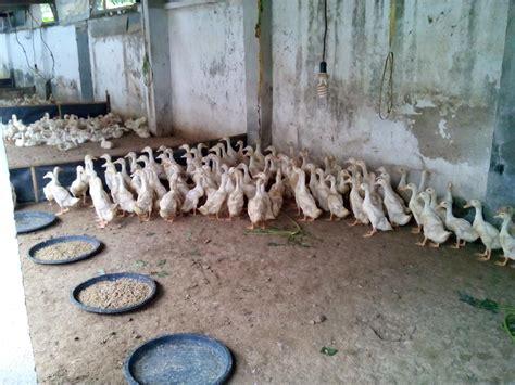 Bibit Bebek Potong jual bebek siap potong perkasa