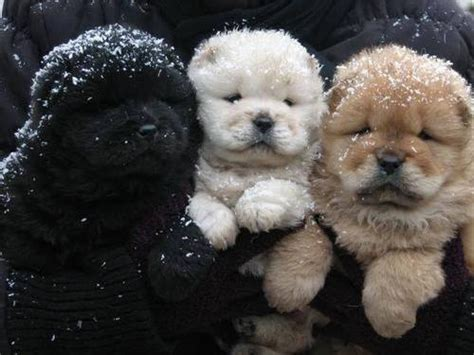 winter puppy winter puppies pictures photos and images for and