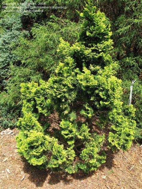 plantfiles pictures hinoki false cypress nana lutea