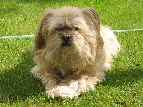 how to lhasa apso file lhasa apso rolly jpg