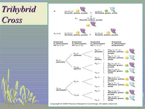 branch diagram genetics genetic trihybrid cross