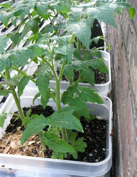 Organic Container Vegetable Gardening Organic Vegetable Gardening Information Agrifarming In