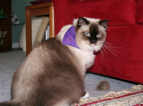How To Get Your Cat To Stop Shedding by How To Minimize Cat Shedding In Your Home Iheartcats